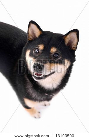 Siba inu dog isolated on white, top view
