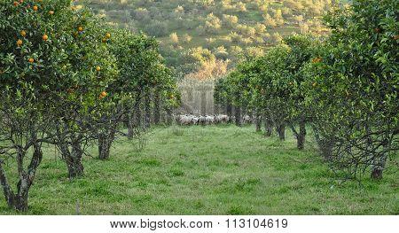 Orange trees and sheep flock