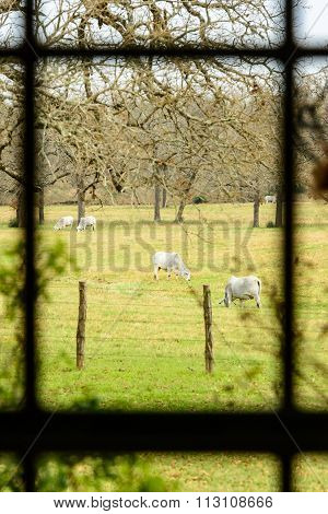 Close View Of A Pasture With Cows Through Ranch House Window