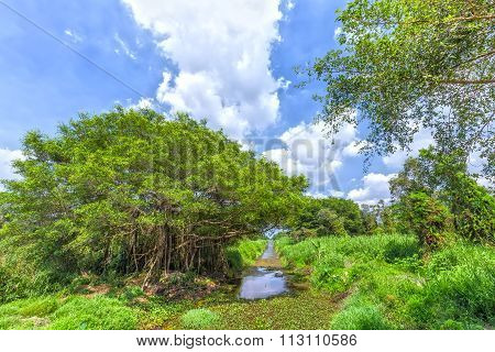 Ancient trees inside the canal in mangrove forest