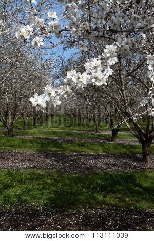 Almond grove with blossoms