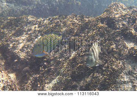 Abudefduf sordidus and Clown surgeonfish