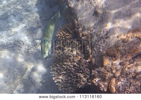 Coris is a genus of wrasses
