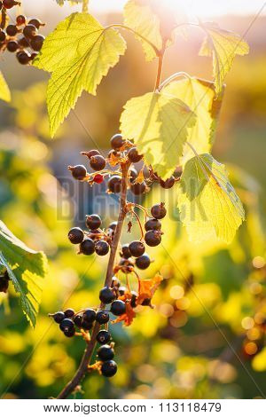 Black Currant Branch. Growing Organic Berries Closeup in sun ray