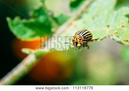 Colorado Potato Striped Beetle - Leptinotarsa Decemlineata Is A