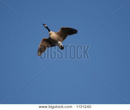Goose 001