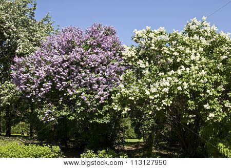 Purple And White Lila?