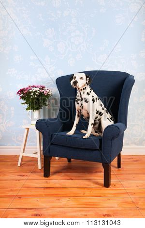 Pure breed Dalmatian dog on chair in living room