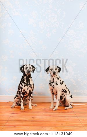 Pure breed Dalmatian dogs together sitting at the floor