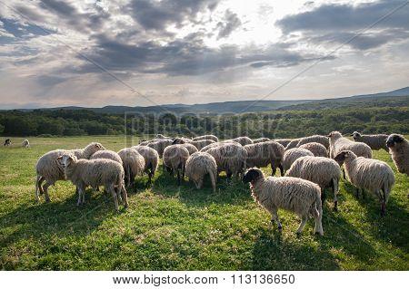 Flock Of Sheep Grazing On Beautiful Mountain Meadow
