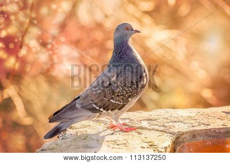 Proud Pigeon On The Wall