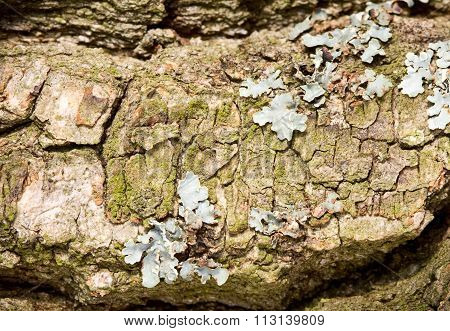 Macro Of Lichen On Tree Bark
