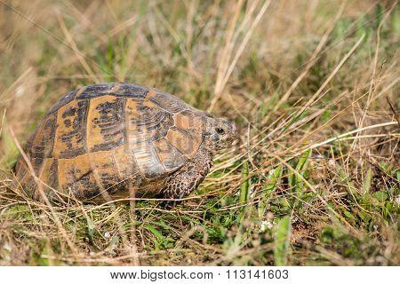 Land Tortoise - Testudo Graeca
