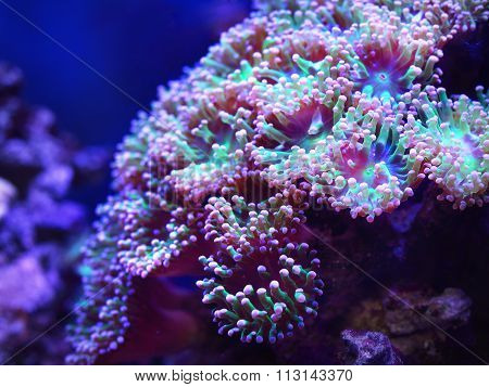 Sea Anemones And Corals In Marine Aquarium