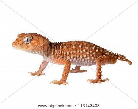 Gecko Nephrurus amyae isolated on white background