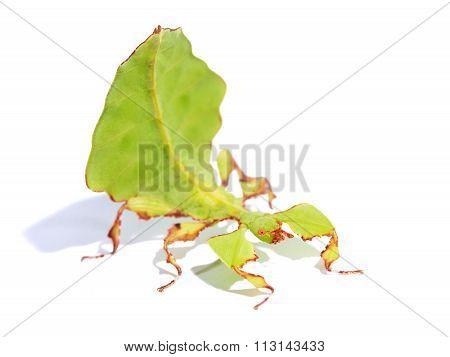 Stick-insect Phyllium Giganteum