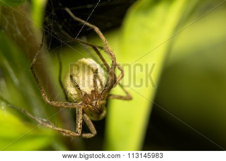 Licosidae Spider Carring Her Cocoon With Youngs