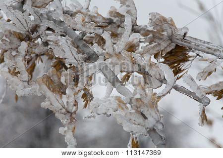 Ice On Twig Of  Tree