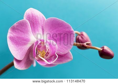 Pink orchid flower on a blue background.  Orchid flower background
