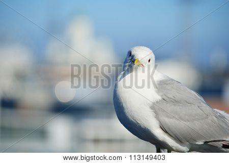 A Seagull In Helsinki, Finland