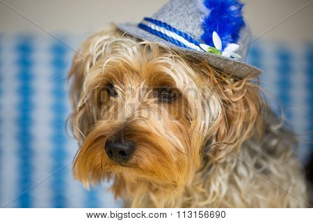 Yorkshire Terrier with hat, munich outfit