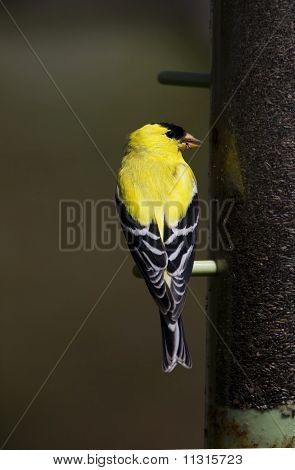 American Goldfinch On A Bird Feeder