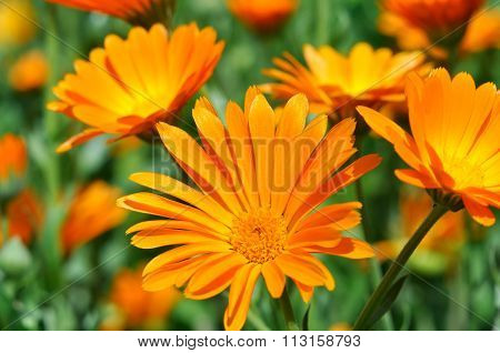 Closeup Of A Medical  Marigold Flowers (Calendula officinalis)