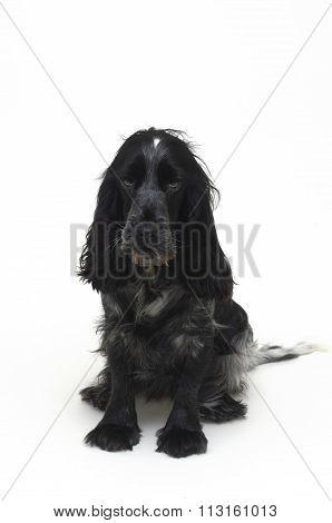 Cocker Dog