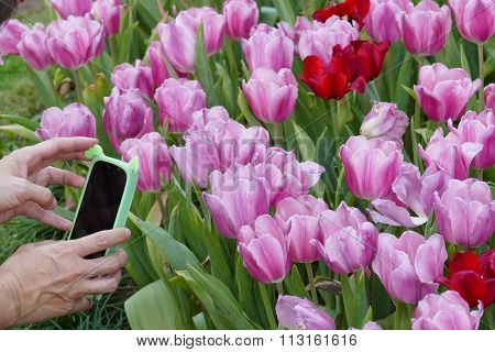 Hand Holding Mobile Phone Taking Photo Of Blooming Tulip Flower