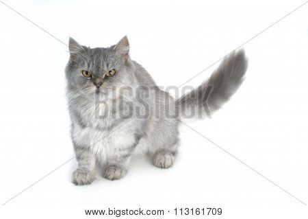Grey Persian Cat