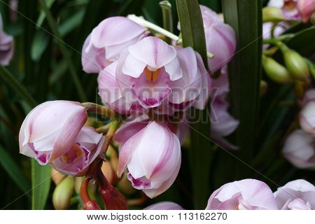 Blooming Orchid Flower In  The Garden