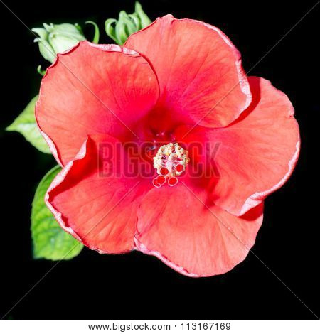 Red Hibiscus Flower On A Black Background