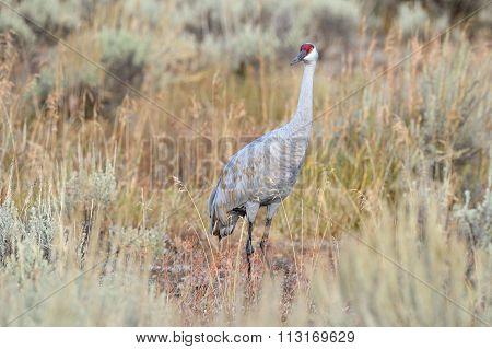 Sandhill Crane in high grass