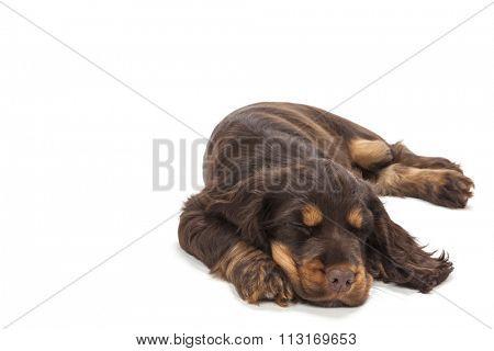 Cute Cocker Spaniel puppy dog sleeping
