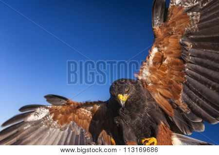 Harris Hawk, Parabuteo Unicinctus, in flight and landing. Bird of prey native to the southwestern United States of America south to Chile and central Argentina.