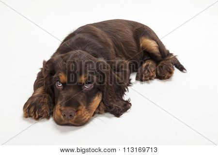 Cute Cocker Spaniel puppy dog laying down looking up, sad or guilty