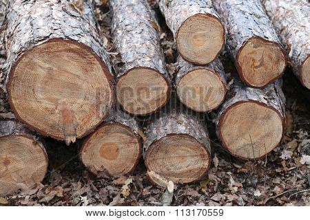 Freshly Cut Pine Tree Logs In Forest Outdoors