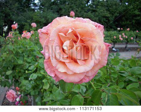 Pink standard rose flower