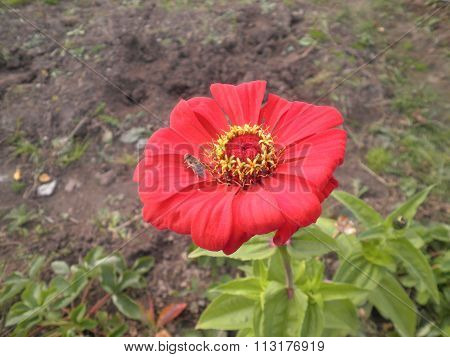 The zinnia red