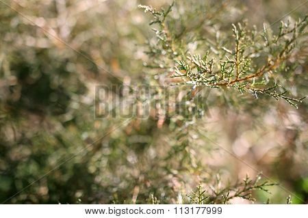 Close Up Of Evergreen Cedar Tree Leaves Background