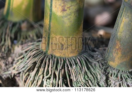 Close up of green bamboo with aged root in the nature