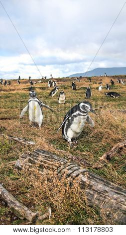 The penguins in tierra del fuego