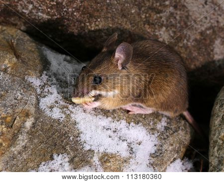 Cute Little Woodmouse Found Food