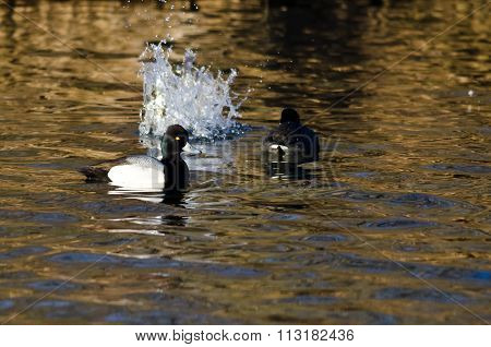 Male Lesser Scaup Swimming Past A Splash In The Pond
