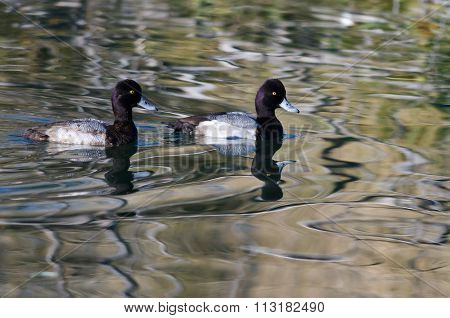 Two Male Scaup Ducks Swimming In The Still Pond Waters
