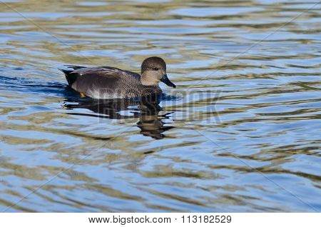 Lone Gadwall Swimming On The Blue Water