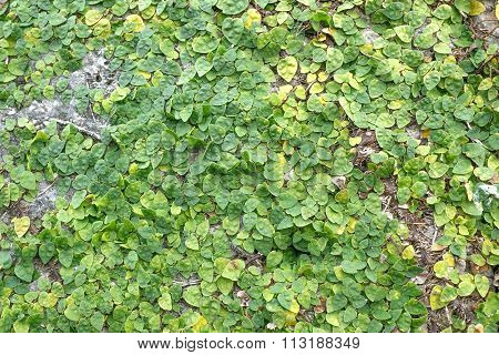 Green Creeper Plant on Wall , Green Creeper Plant background