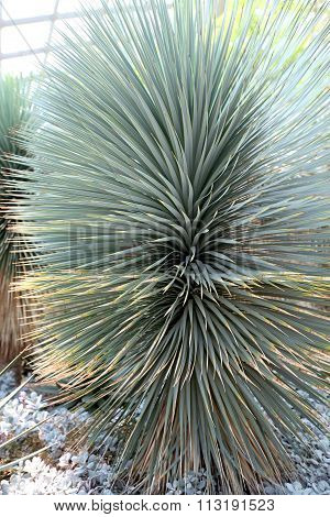 Grey, Spiny Desert Plant