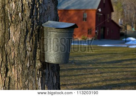 Tapping For Maple Syrup In New England