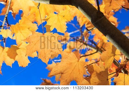 Yellow Maple Autumn Leaves  In Aberdeen, Scotland Uk.